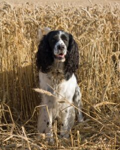 english springer spaniels are trained hunting dogs