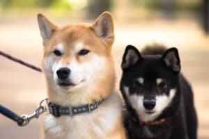 breed_shiba-inu-in-two-color-ways