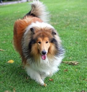 collie dog breed outside
