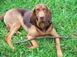 likely a black and tan coonhound