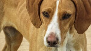likely an american english coonhound close up
