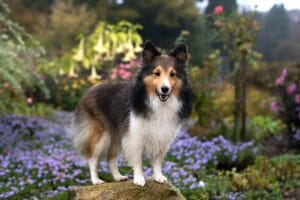 rough collie dog breed in flowers