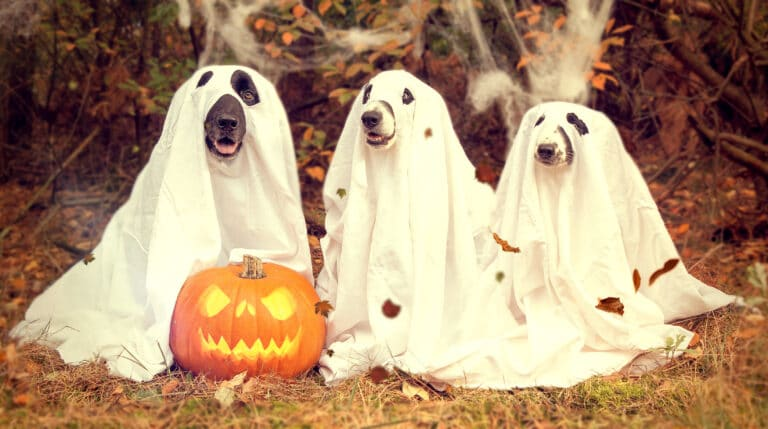 three dogs dressed as ghosts on halloween